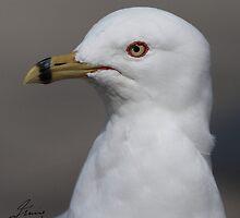 Breeding Plumage of a Ring-billed Gull by DigitallyStill