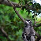 Dusky Leaf Monkey - contemplation by Tom Grieve