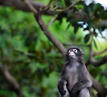 Dusky Leaf Monkey - contemplation by Tom Grieve