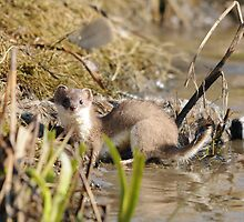Stoat with Rabbit by Ron Hindhaugh