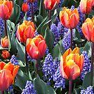 Princess Irene Tulips ~ Skagit Valley by Marjorie Wallace