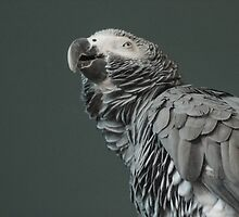 Suspicious parrot by RookieDesign