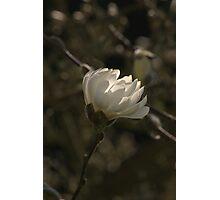 Magnolia #2 Photographic Print