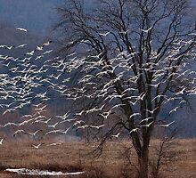 Snow Geese in Flight by Dennis Baker