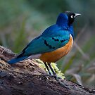 Superb Starling by Michael Hadfield