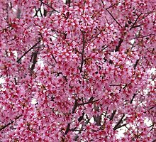Cherry Blossoms - Central Avenue - Hot Springs, AR by Lee Hiller-London