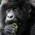 Juvenile Mountain Gorilla Eating, Kwitonda Group, Rwanda, East Africa  by Carole-Anne