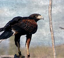 Harris Hawk by Stormygirl