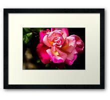 Vibrant Rose Framed Print