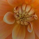 Orange Dahlia by Margaret Stevens