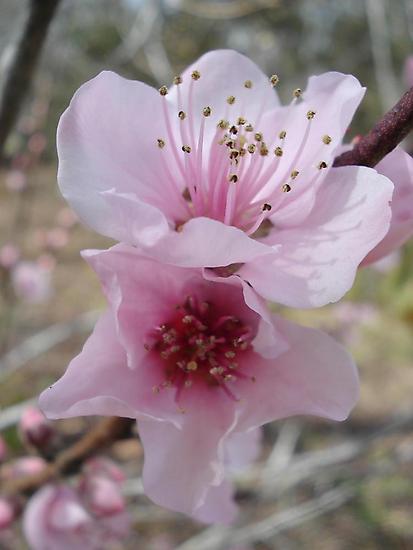 Plum Blossoms by May Lattanzio