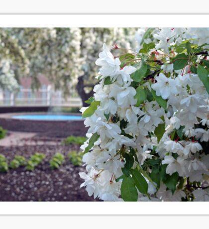White Cherry Blossoms  Sticker