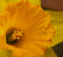daffodil by BESphotographs