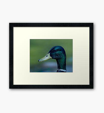 Male Mallard Framed Print