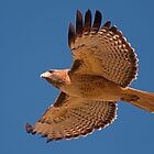 1101010 Red Tailed Hawk by Marvin Collins