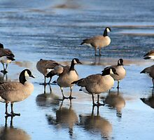 Canadian Geese on Ice by Alyce Taylor