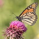 Monarch On Thistle by Thomas Young