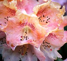 Peachy Keen Rhodo... by Carol Clifford