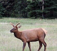 Young Male Elk by Alyce Taylor