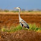 Great Blue Heron by flyfish70