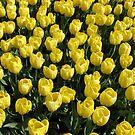 Blossoms of Gold - Yellow Tulips - Keukenhof Gardens by BlueMoonRose