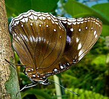 Common  Female Eggfly Butterfly by Tom Newman