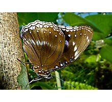 Common  Female Eggfly Butterfly Photographic Print