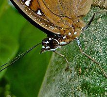 Oleander Butterfly II by Tom Newman