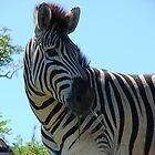 Burchell's Zebra by Shaun Swanepoel