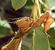 Alien! Female Stick Insect  by TracyD