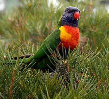 Rainbow Lorikeet  by Marlin1956