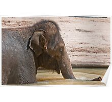 Elephant at Melbourne Zoo Poster