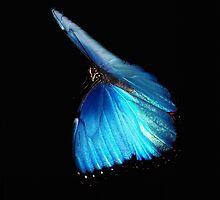 Blue wing beauty by mark4321