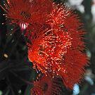 Aussie fire : Eucalyptus Blossom.  by Lozzar Flowers & Art