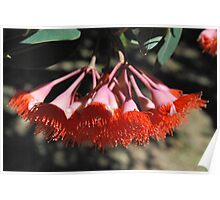Fiery Buds : Eucalyptus Blossoms. Poster