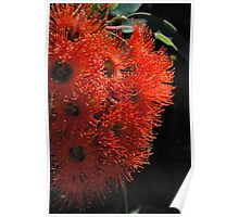 Aussie Orange : Eucalyptus Blossoms.  Poster