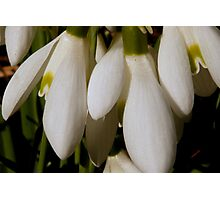 Snowdrops - First Sign of Spring Photographic Print