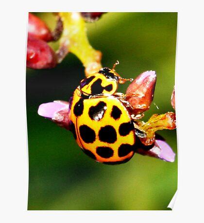 Pretty Ladybug Poster