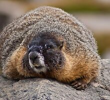 Marmota Flaviventris by Jay Ryser