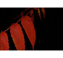 Sumac leaves Photographic Print