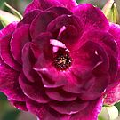 Wonderful Rose by Joy Watson
