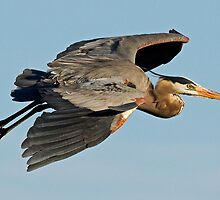 111310 Great Blue Heron by Marvin Collins