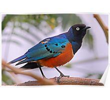 """Superb Starling"" Ethiopia Poster"