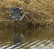 Heron by photoshotgun