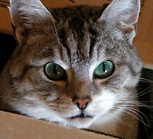 Cat in box: I see you! by patjila