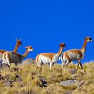 Vicuñas..............................................Chile. by cieloverde