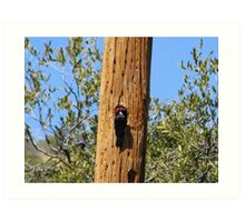 Acorn Woodpecker Art Print