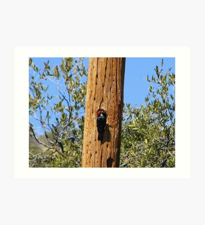 Acorn Woodpecker Art Print