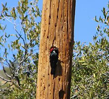Acorn Woodpecker by Sherry Pundt