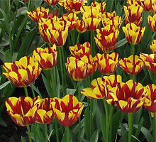 Flamboyant Beauties - Bi-colour Tulips in the Keukenhof Gardens by BlueMoonRose